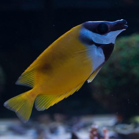 Siganus (Lo) vulpinus - рыба-лиса