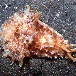 Dolabella auricularia - морской заяц