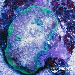 Echinophyllia sp. (чалис фиолетово-зеленый)