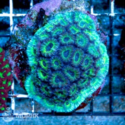 Goniastrea sp. (гониастрея синяя)