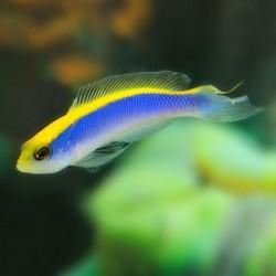 Pseudochromis Flavivertex (желтоспинный псевдохромис)