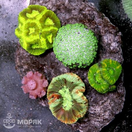 Микс из LPS-кораллов