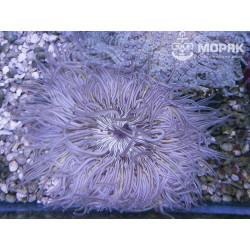 Phymanthus - sand flower anemone