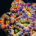 LPS (полутвердые кораллы)